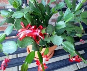 Christmas cactus gift
